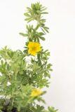 905-00164 Potentilla frutic (2)