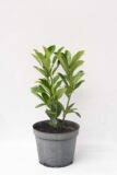 Prunus laurocerassus'Elly'