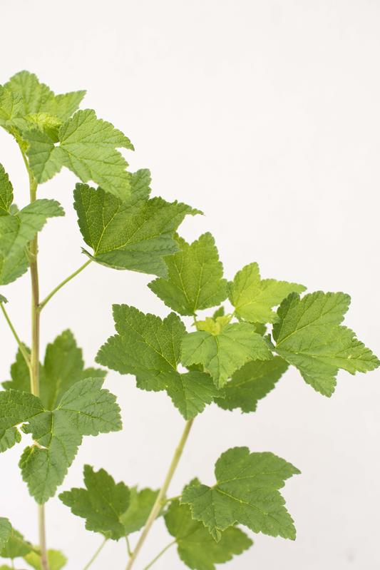 905-00174 Ribes rubrum.'Jonkheer van Tets' (2)