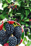 905-00175 Rubus frutic.'Black Satin'