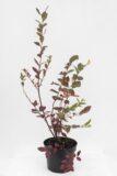 Borówka amerykańska 'Nelson' (łac. Vaccinium corybosum 'Nelson')