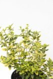 905-00178 Euonymus fort (2)