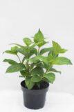 Hortensja ogrodowa 'Bouquet rose' (łac. Hydrangea Macrophylla 'Bouquet rose')
