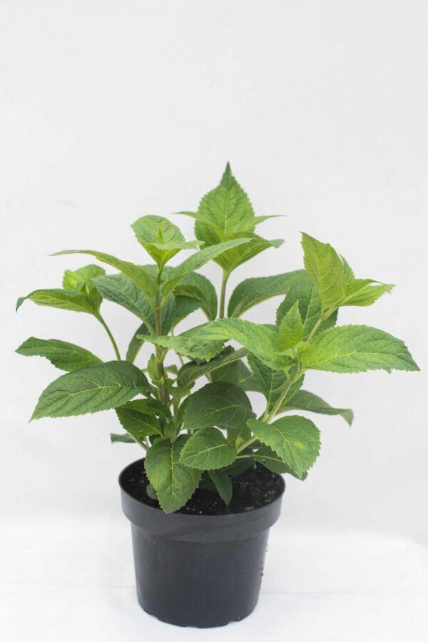 905-00182 Hydrangea macr.'Bouquet Rose'