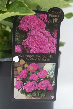 905-00183 Hydrangea macr (2)