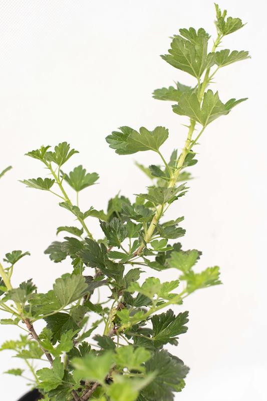 905-00191 Ribes uva-crispa'Hinnonmaki Gron' (2)