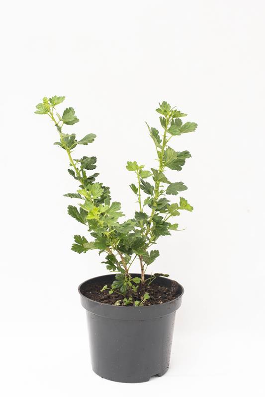 905-00192 Ribes uve-crispa'Hinnonmaki Rod'