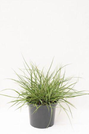 905-00193 Pennisetum alopecur.'Hameln'