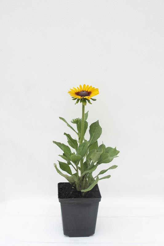 905-00194 Rudbeckia hybrida'SmileyZ Big Love'