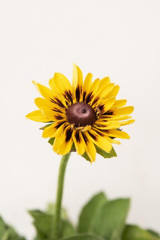 905-00195 Rudbeckia hybrida'SmileyZ Giggling' (2)