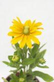905-00197 Rudbeckia hybrida'Sunbeckia Ophelia' (1)