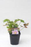 Zawilec mieszańcowy 'Konigin Charlotte' (Anemone Hybrida 'Konigin Charlotte')