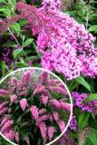 Budleja davida 'Pink Cascade' (łac. Buddleja davidii 'Pink Cascade')