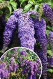 Buddleja davidii'Wisteria Line' budleja płacząca jak wisteria