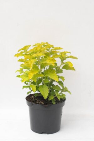 905-00204 Caryopteris cland.'Hint of Gold'