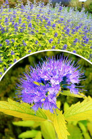 Caryopteris cland.'Hint of Gold'