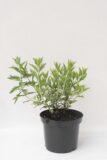 905-00206 Perovskia atriplicifolia'Lacey Blue'