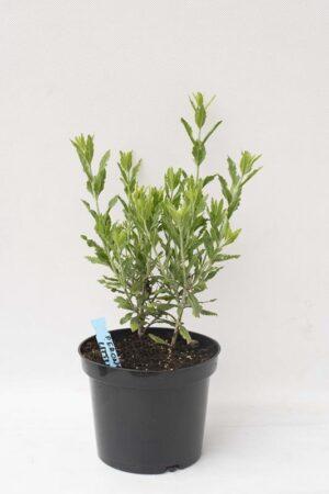 905-00207 Perovskia atriplicifolia'Little Spire'
