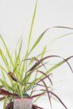 Proso rózgowate 'Shenandoah' Panicum virgatum'Shenandoah'