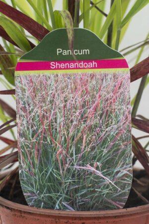 905-00210 Panicum virgatum'Shenandoah' (3)