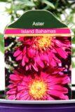Aster dumosus 'Island Bahamas' aster krzaczasty