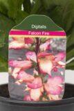 905-00214 Digitalis hybrida'Falcon Fire' (2)