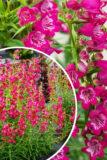 Penstemon hybrida 'Harlequin Magenta' różowe dzwonki