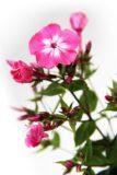905-00221 Phlox paniculata 'Flame Light Pink' 1,1L 2