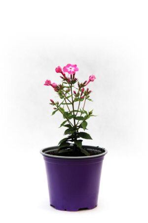 905-00221 Phlox paniculata 'Flame Light Pink' 1,1L