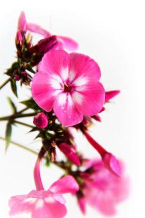 905-00222 Phlox paniculata 'Flame Pink Eye' 1,1L 2