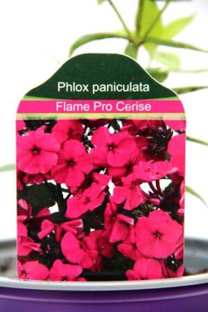 905-00223 Phlox paniculata 'Flame Pro Cerise' 2