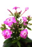 905-00224 Phlox paniculata 'Flame Pro Violet Charm' 1,1L 3