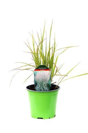 Trzcinnik ostrokwiatowy 'England' (łac. Calamagrostis acutiflora 'England')