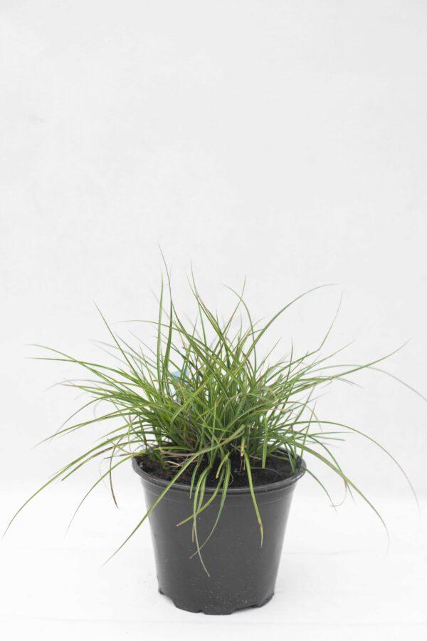 905-00234 Miscanthus sinensis'Adagio'