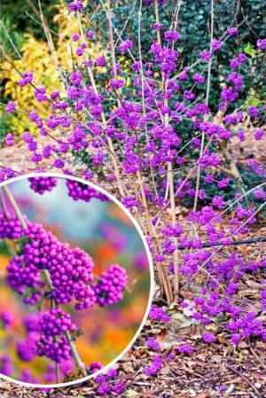 Callicarpa bodinieri giraldii pieknotka fioletowe korale