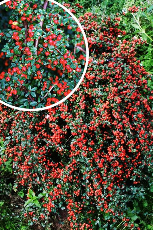 Irga Szwedzka 'Coral Beauty' (łac. Cotoneaster suecicus 'Coral Beauty)