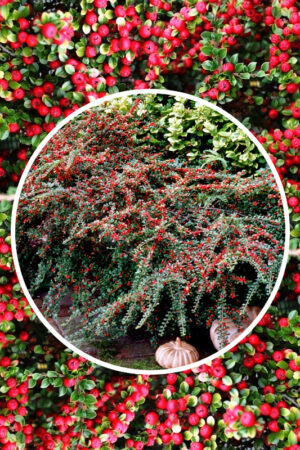 Irga 'Queen of Carpets' (łac. Cotoneaster procumbens 'Queen of Carpets') irga płożąca