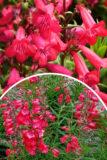 Penstemon meksykański 'Harlequin Red' (łac. Penstemon hybrida 'Harlequin Red')