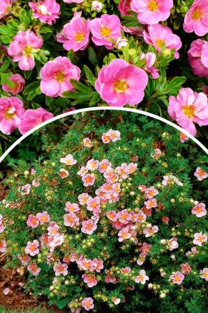 Pięciornik krzewiasty 'Pink Paradise' (łac. Potentilla fruticosa 'Pink Paradise')