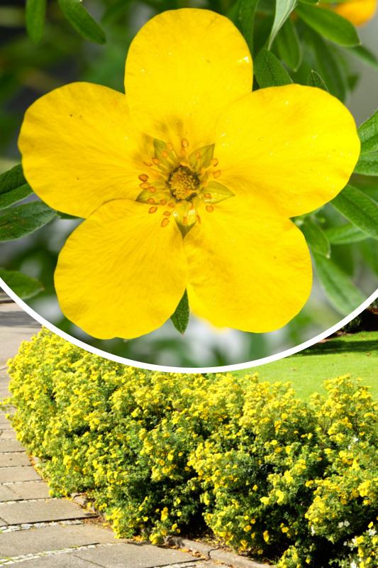 Pięciornik krzewiasty 'Goldstar' (łac. Potentilla fruticosa 'Goldstar')