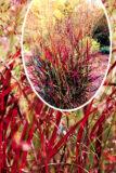 Proso rózgowate 'Shenandoah' (łac. Panicum virgatum 'Shenandoah')