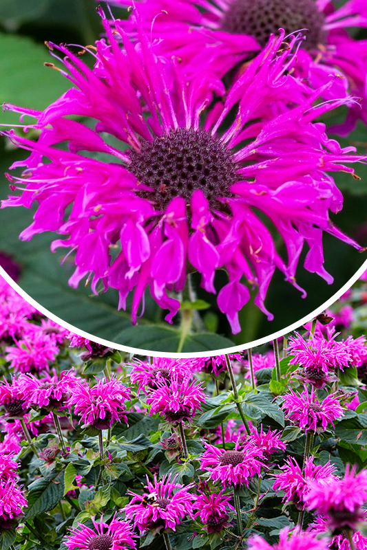 Pysznogłówka 'Bee-Free' (łac. Monarda hybrida 'Bee-Free')