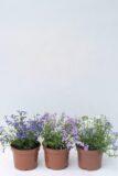 510-00621 LOBELIA dd (1)