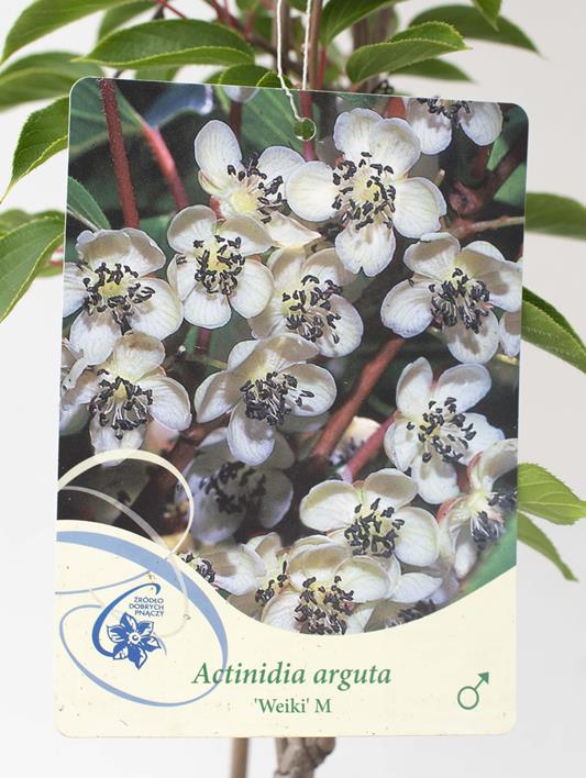 710-22440 Actinidia arguta'Weiki' M (2)