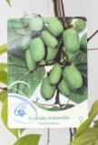 710-22442 Actinidia kolomikta'Sentyabrskaya' (2)