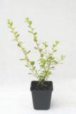 905-00141 Escallonia 'Donard Seedling'