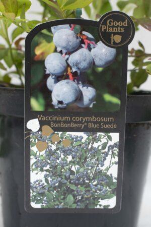 905-00176 Vaccinium corymbosum'BonBonBerry' (2)