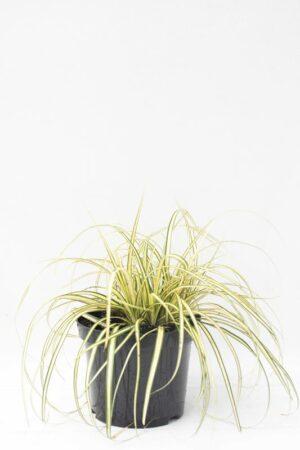 905-00208 Carex oshimensis'Evergold'