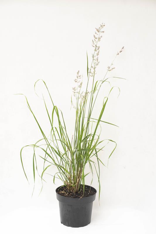 905-00239 Calamagrostis acut. 'Karl Foerster' C2