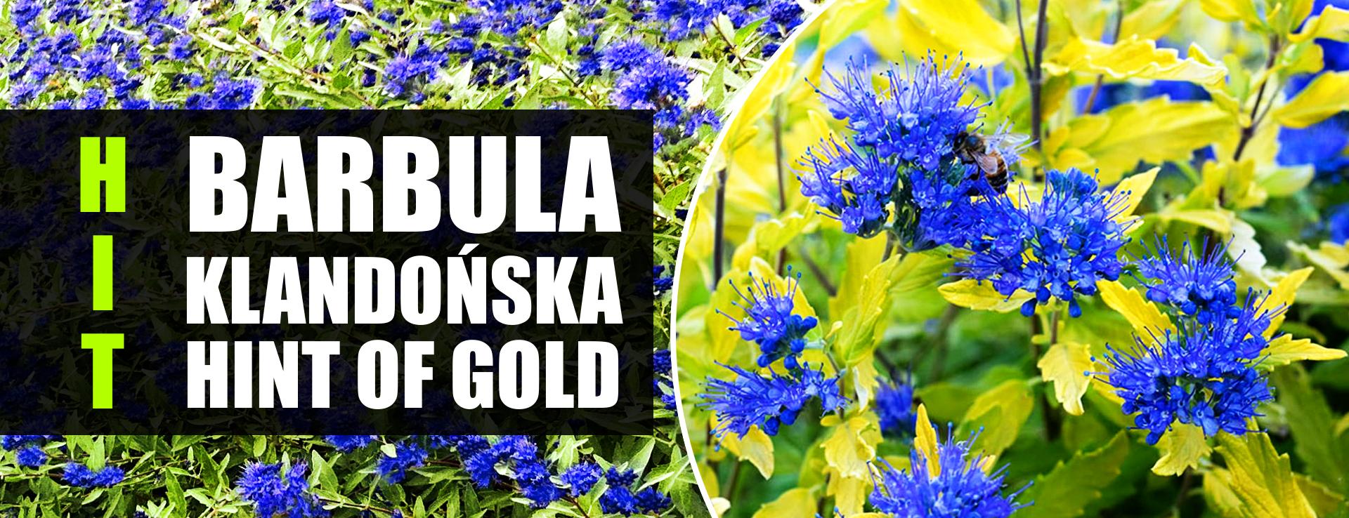 BARBULA klandońska hint of gold niebieska chmura kwiatów limonkowe liście